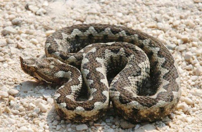 poskok zmija otrovnica serum bih